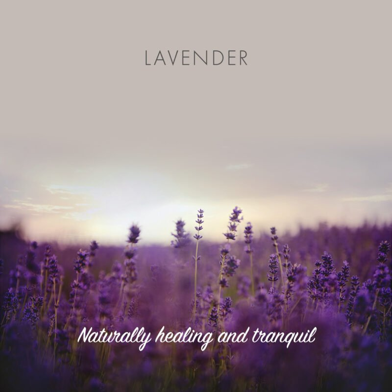 A lavender field as the sun is about to set with the words Lavender, Natrually healing and tranquil